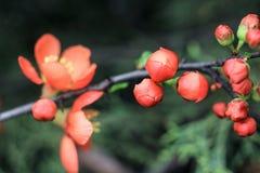 Små knoppar av den orange japanska kvitten Royaltyfri Fotografi