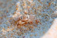 Små krabbamaskeringar Arkivfoto