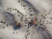 Små krabbor på sandstranden av havet Royaltyfria Foton