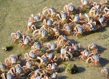 Små krabbor på sandstranden av havet Royaltyfri Bild