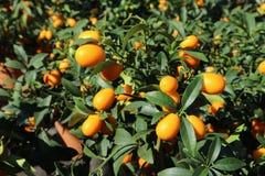 Små kumquatträd som är fulla av frukter, under solljuset royaltyfri fotografi