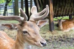Små kungliga hjortar med horn i bakgrunden andra hjortar Arkivbilder