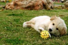 Små labrador Royaltyfria Bilder