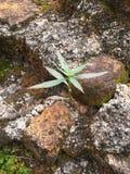 Små livträd på den gamla väggen, Phattalung, Thailand Arkivfoto