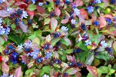 Små ljusa blåa blommor på en lövrik buske royaltyfria foton