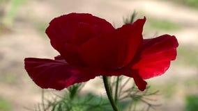 Små ljusa röda blommor Attraktiv, ljus röd färg En delikat blomma stock video