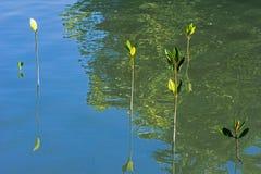 Små mangroveträd Fotografering för Bildbyråer