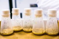 Små medicinflaskor som innehåller fruktflugor fotografering för bildbyråer