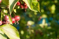 Små mogna röda äpplen hänger på ett träd i trädgården i solig sommardag Arkivfoton