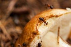 Små myror och stor champinjon Royaltyfri Bild