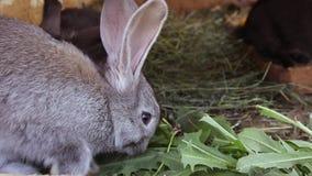 Små olika kulöra kaniner i en bur De äter nytt gräs lager videofilmer