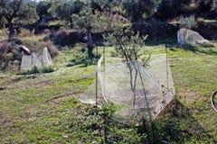 Små olivträd som växer i olivgrön dunge i Kalamata, Peloponnese, Grekland Royaltyfri Bild