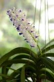Små orkidér Royaltyfria Foton