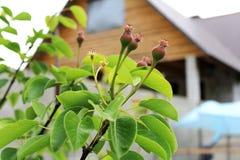Små päron på våren Arkivbild