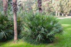 Små palmträd på gräsmattan parkerar in Arkivfoton