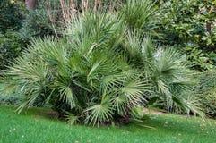 Små palmträd på gräsmattan parkerar in Arkivfoto
