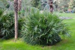 Små palmträd på gräsmattan parkerar in Royaltyfri Bild