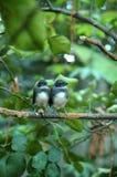 Små Pied Fantailfåglar på Kaffirlinden Arkivbilder