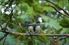 Små Pied Fantailfåglar på Kaffirlinden Royaltyfria Foton