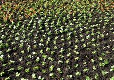 Små plantor av dekorativa blommor som planteras i jordningen Fotografering för Bildbyråer