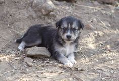 Små puppys Royaltyfria Foton