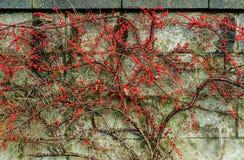 Små röda bär på buskeväxten klättrade mot väggen royaltyfri foto