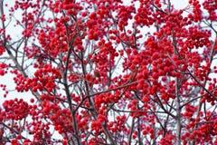 Små röda bär på en torr filial av en buske royaltyfri fotografi