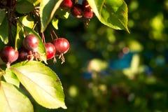 Små röda dekorativa röda äpplen på bakgrunden av gröna filialer med sidor, slut upp Royaltyfri Foto