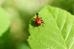 Små röda fel i fält på ett blad arkivfoton