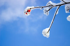 Små röda frukter på trädet i is och snö Royaltyfri Foto