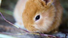 Små röda kaniner arkivfilmer