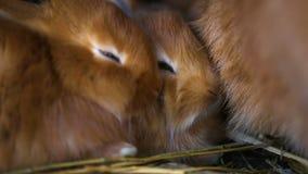 Små röda kaniner på buren stock video
