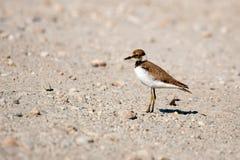 Små Ringed juvenilis för brockfågelCharadriusdubius royaltyfria foton