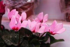 Små rosa blommor i sälja shoppar Royaltyfria Bilder