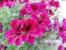Små rosa blommor som smyckar trädgården av ditt hus royaltyfri bild