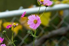 Små rosa färg- och gulingblommor i den sena nedgången Royaltyfri Foto