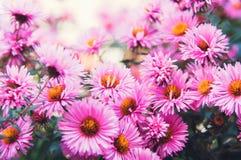 Små rosa höstblommor härligt naturligt för bakgrund tona stilinstagram arkivfoto