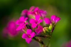 Små rosa lilor blomstrar på den gröna bakgrunden arkivbilder