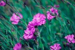 Små rosa nejlikor (Dianthus) som en bakgrund Arkivbild