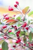 Små rosa sakura blommor Royaltyfria Bilder