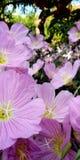 Små rosa skönheter arkivfoton