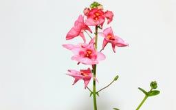 Små rosa tropiska blommor Royaltyfria Bilder