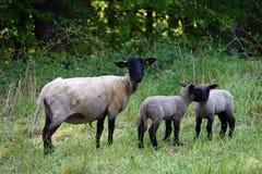 Små sheeps med modern arkivfoto