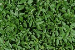 Små sidor av textur för basilikaväxtbakgrund Royaltyfria Foton