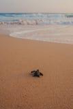 Små sköldpaddor som drar tillbaka till havet arkivfoton