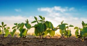 Små sojabönaväxter som växer i rad Fotografering för Bildbyråer