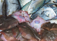 Små stingrockor och olik havsfisk Royaltyfria Foton