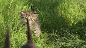 Små strimmig kattkattungar på grönt gräs stock video