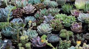 Små suckulentväxter i krukor Royaltyfri Foto