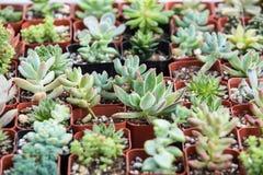 Små suckulentväxter i krukor Arkivbilder